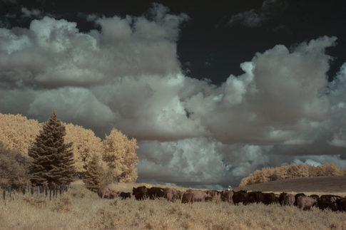 Infrared picture of 'Cowboy and Cattle ' by Nadine Levin Photography