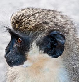 about-monkey