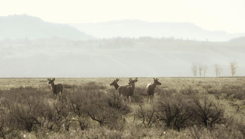 Wild Life picture of 'Elk In The Morning' by Nadine Levin Photography