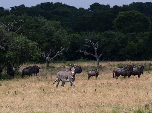 Wild Life picture of 'Grevey and Wildebeest ' by Nadine Levin Photography