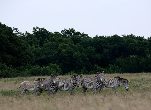 Wild Life picture of zebras 'Line Of Lines ' by Nadine Levin Photography