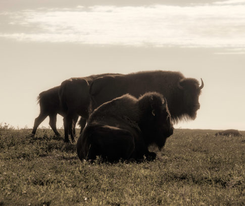 Wild Life picture of buffalo 'Majestic Creatures' by Nadine Levin Photography