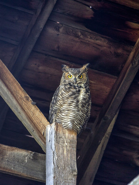 Wild Life picture of 'Mr Owl' by Nadine Levin Photography